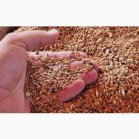 Пшеница 5, 4, 3 класс. ГОСТ