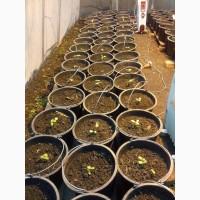 Семена гибрид подсолнечника Эдванс