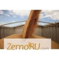 Закупаем ПРОРОСШУЮ пшеницу с места