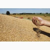 Покупка пшеница 4.3 самовывоз