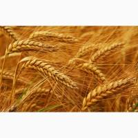 Пшеница 3 класс. Экспорт