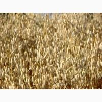 Семена овса ярового голозерного сорт «Вятский»