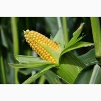 Гибриды семена кукурузы Пионер, Pioneer