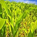Продажа. Кукуруза 3, 4 класса