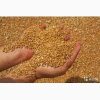 Пшеница 3-4 класс оптом от производителя