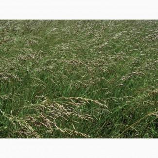 ООО НПП «Зарайские семена» продает семена фестулолиума