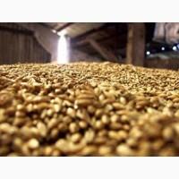 Пшеница фуражная урожай 2018 г